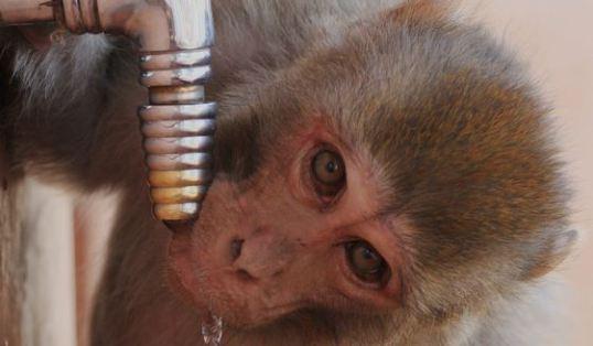 drinking monkey